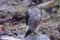 Eurasian Sparrow Hawk - Sparvhök