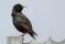 Common Starling - Stare