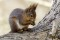 Eurasian red squirrel - Ekorre