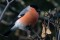 Eurasian Bullfinch - Domherre