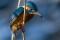 Common Kingfisher - Kungsfiskare