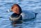 Common Pochard - Brunand