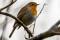 Eurasian Robin - Rödhake