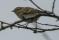 Hume's Leaf Warbler - Bergtajgasångare