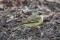 Eastern Yellow Wagtail - Östlig gulärla