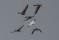 Ross´s Goose, Greylag Geese and Barnacle Geese - Dvärgsnögås, grågäss och vitkindade gäss