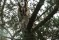 Long-eared Owl - Hornuggla