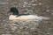 Common Merganser - Storskrake