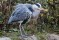 Grey Heron - Häger