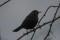 Blackbid, male - Koltrast, hanne