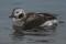 Long-tailed Duck 1cy male - Alfågel 1k hanne