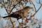 Female Blackbird - Koltrast , hona
