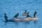 Great Cormorant - Storskarv