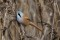 Bearded readling adult male - Skäggmes adult hanne