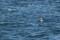 Little Gull 1cy - Dvärgmås 1k