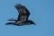 Northern Raven - Korp
