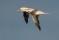 Northern Gannet - Havssula
