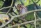 Olive-backed Pipit - Sibirisk piplärka