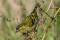 Eurasian siskin - Grönsiska