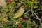 European Greenfinch - Grönfink