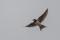 Barn Swallow - Ladusvala