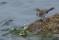 Juvenile White Wagtail - Ung sädesärla