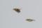 Migrating Eurasian Siskins - Flyttande grönsiskor