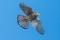 Eurasian Kestrel - Tornfalk