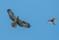 Honey Buzzard and Sparrow Hawk - bivråk och sparvhök