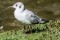 Blackheaded Gull - Skrattmås