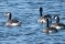 Canada Geese and a hybrid Canada-Greylag to the left - Kanadagäss och en hybrid kanada/grågås till vänster