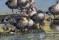 Greylag Goose, ringed in Poland 2019 - Grågås ringmärkt i Polen 2019