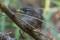 Eurasian Wren, juvenile - Ung Gärdssmyg