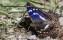 Purple Emperor - Sälgskimmerfjäril