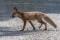 Red Fox - Räv