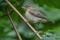 Common Chiffchaff juv - Gransångare juvenil