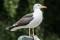 Lesser Black-backed Gull - Silltrut