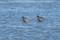 Spotted Redshank - Svartsnäppa
