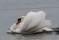 Mute Swan - Knölsvan