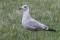 Herring Gull, 2 y - Gråtrut 2k