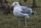 European Herring Gull - Gråtrut