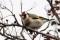 European Goldfinch - Steglits
