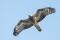Eurasian Honey buzzard - Bivråk