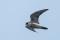 Peregrin Falcon 2:nd year male - Pilgrimsfalk 2k hanne