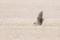 Pallid Harrier - Stäpphök