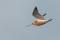 Bar-tailed godwit - Myrspov