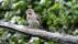 Tree Pipit - Trädpiplärka