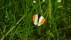 Orange Tip - Aurorafjäril