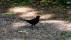 Eurasian Blackbird - Koltrast