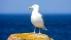 Herring Gull - Gråtrut
